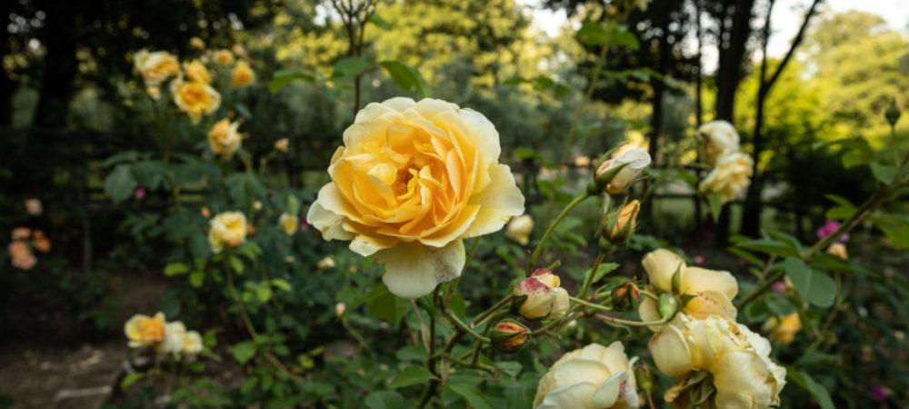 Le rose di Casacocò